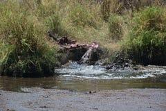 Cocodrilo que come la gacela en el safari Tanzania Fotografía de archivo libre de regalías