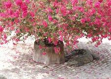 Cocodrilo que duerme debajo de árbol de la flor de papel Imagen de archivo libre de regalías