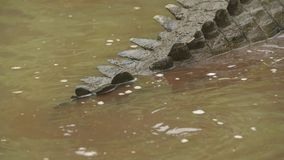 Cocodrilo sucio del Orinoco en la orilla del río, Colombia almacen de video