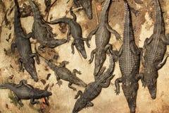 cocodrilos Imagenes de archivo