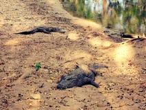 cocodrilos Foto de archivo libre de regalías