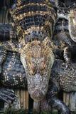 Cocodrilos de la Florida Foto de archivo libre de regalías