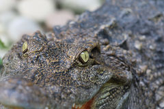 Cocodrilos de los ojos en el fondo y la textura del parque zoológico fotografía de archivo