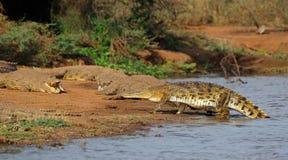 Cocodrilos del Nilo que toman el sol - parque de Kruger Natioal fotografía de archivo libre de regalías