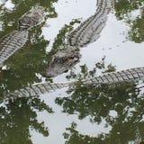 Cocodrilos en el agua Fotografía de archivo