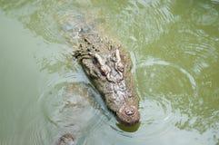 Cocodrilos en el agua del parque zoológico Fotografía de archivo