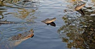 Cocodrilos en el pantano fotografía de archivo libre de regalías