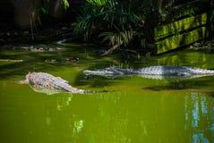 Cocodrilos en la granja del cocodrilo sarawak borneo malasia Imagenes de archivo