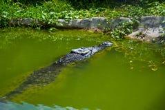 Cocodrilos en la granja del cocodrilo sarawak borneo malasia Fotos de archivo libres de regalías