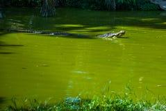 Cocodrilos en la granja del cocodrilo sarawak borneo malasia Fotografía de archivo libre de regalías