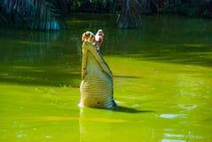 Cocodrilos en la granja del cocodrilo sarawak borneo malasia Imágenes de archivo libres de regalías