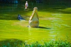 Cocodrilos en la granja del cocodrilo sarawak borneo malasia Fotografía de archivo