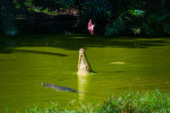 Cocodrilos en la granja del cocodrilo sarawak borneo malasia Imagen de archivo libre de regalías