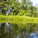 Cocodrilos en la hora de la comida en la región amazónica de Ecuador Fotografía de archivo libre de regalías