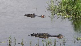 Cocodrilos grandes después de la lucha en un lago almacen de video