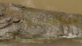 Cocodrilos llanos hocico del río y cabeza, Colombia almacen de video
