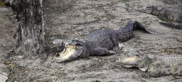 cocodrilos malvados en la granja Foto de archivo libre de regalías