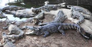 cocodrilos malvados en la granja Fotografía de archivo libre de regalías