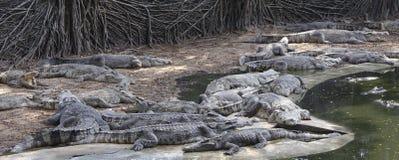 cocodrilos malvados en la granja Imagen de archivo