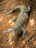 Cocodrilos que descansan en la granja del cocodrilo Imagenes de archivo