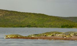 Cocodrilos que toman el sol en el lago Chamo fotos de archivo libres de regalías