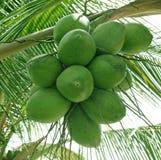 Cocoes op een palm Royalty-vrije Stock Afbeelding