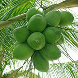 Cocoes on a palm tree Royalty Free Stock Image