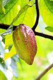 Cocofruit Royalty-vrije Stock Foto's