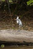 Cocoi苍鹭用站立在下落的树的被察觉的鲶鱼 免版税库存图片