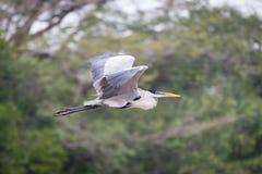Cocoi苍鹭飞行过去被弄脏的树枝 库存照片