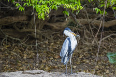 Cocoi苍鹭w/Speared装甲的鲶鱼在密林 库存照片