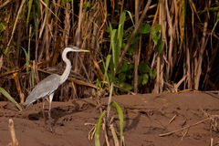 Cocoi Heron Stock Images