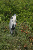 Cocoi heron, Ardea coco Royalty Free Stock Photos