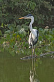 Cocoi heron, Ardea coco Royalty Free Stock Images