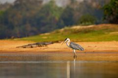 Free Cocoi Heron, Ardea Cocoi, Bird With Evening Sun, Pantanal, Brazil. Bird In Beautiful Morning Sun. Sunset Nature Lake. Wildlife Bra Stock Images - 110444874