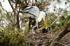 Cocoi Heron (Ardea cocoi) and kids Stock Photography