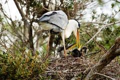 Cocoi Heron (Ardea cocoi) and kids Stock Photography