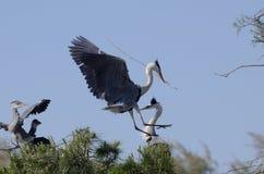 Cocoi Heron (Ardea cocoi) landing Royalty Free Stock Image