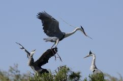 Cocoi Heron (Ardea cocoi) landing Royalty Free Stock Photo