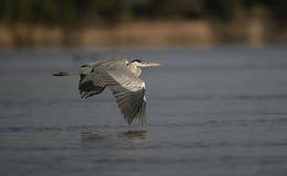 Cocoi heron, Ardea cocoi Stock Photography