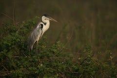 Cocoi heron, Ardea cocoi Stock Images