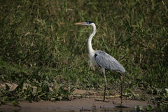 Cocoi heron, Ardea cocoi Stock Photos