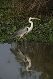 Cocoi heron, Ardea cocoi Royalty Free Stock Photos