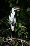 Cocoi heron on branch with open beak Stock Image