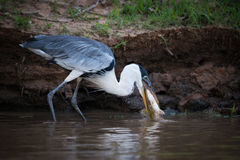 Cocoi heron catching fish in muddy shallows Stock Photo