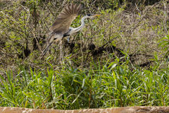 Cocoi Heron in Flight along Riverbank Stock Image
