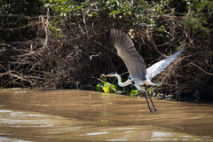 Cocoi heron flying over river beside bank Royalty Free Stock Images