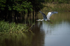 Cocoi heron flying over river beside trees Stock Photos