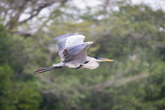 Cocoi heron flying past blurred tree branches Stock Photos