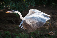 Cocoi heron flying past leafy river bank Royalty Free Stock Photo